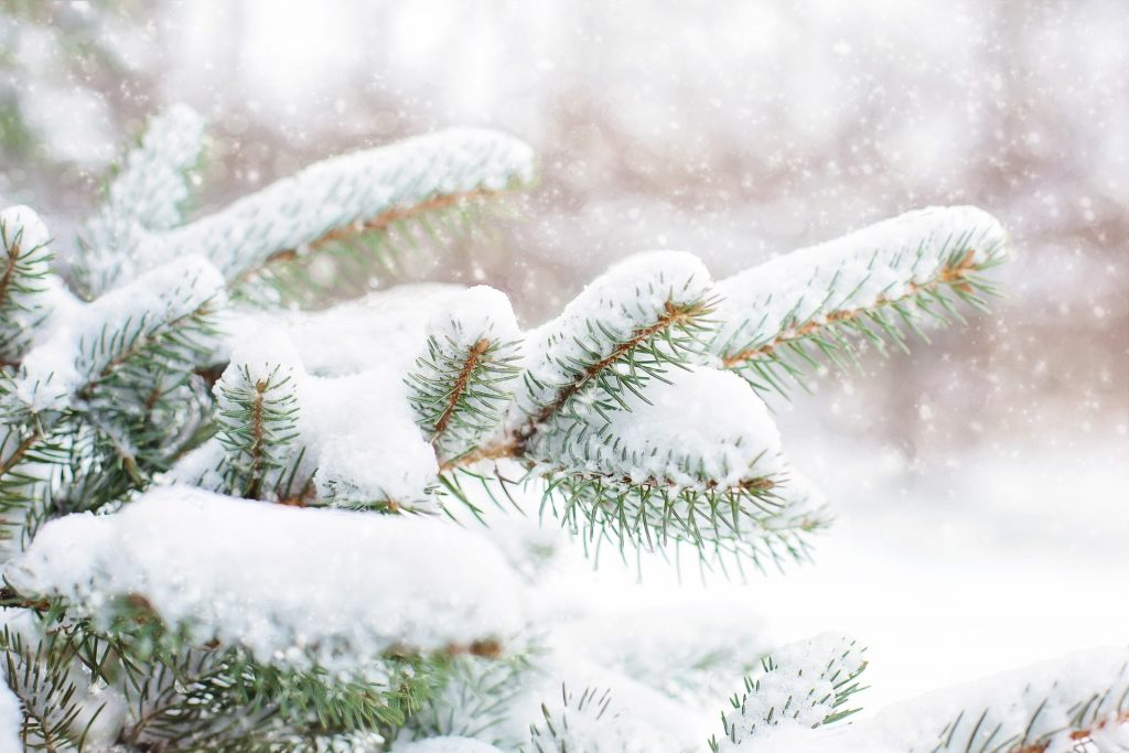 Christmas Tree Farm, pine tree with snow on branches